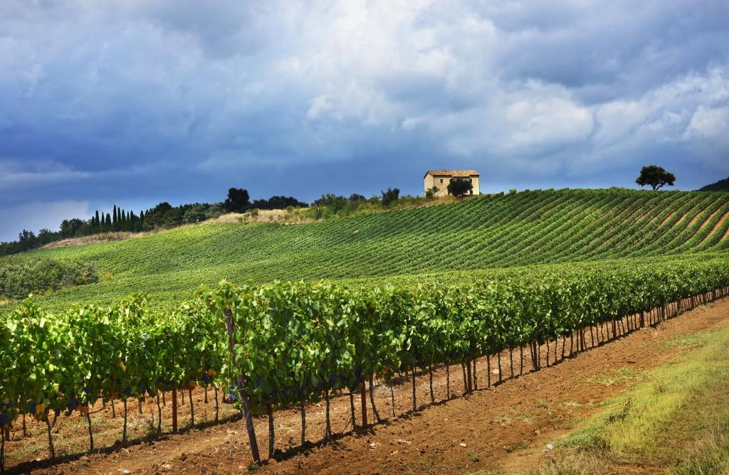Paesaggio con vigne Maremma 2