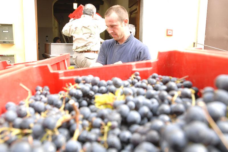 Grape harvest on the Belvedere Estate (Tuscany). Photo by Tenuta Belvedere